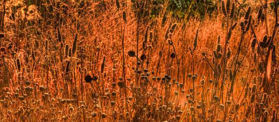Drought tolerant planting